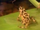 zlatá žába nebo Panamanian Golden Frog (ropucha)