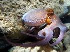 Chobotnice pobřežní (Octopus vulgarius) - dosahuje délky až 3 metrů, ale z pravidla se vyskytují menší exempláře. Hmotnost jedince může dosahovat až 25 kilogramů.