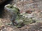 Hatérie novozélandská (tuatara, Sphenodon punctatus) je jeden ze dvou posledních přežívajících druhů řádu hatérií, prastarého řádu plazů, který byl nejvíce rozšířen ve druhohorách.