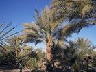 Datlová palma (datlovník) vyrůstá z pecek, proto produkuje čerstvé ovoce. Mezi potřebné podmínky pro růst patří především vysoká teplota okolo 20 až 25°C . Při přesazování semen je musíme být velice obezřetní, abychom neporušili hlavní kořen. Datlová palma roste v pokojích pomalu a svého dekorativního vzhledu nabývá za 5 až 7 let.