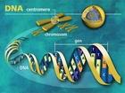 Na tomto uměleckém ztvárnění je přesně znázorněná úzká střední část – místo, kde se nachází centromera, která spojuje dva provazce chromozomu