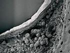 Nervový uzel Gruenberga (Grueneberg ganglion), objevený už v roce 1973