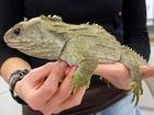 Reptilie tuataras zvaná Robo-Ollie