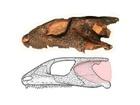 Lebka prvního majitele moderního ucha má délku 6,5 cm. Růžovou barvou je zvýrazněno pravděpodobné umístění ušního bubínku