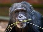 """Experimenty se šimpanzi ukázaly, že tak zvaný """"efekt darování"""", dříve spojovaný výlučně s lidskou kulturou a lidskou psychologií, je pozorován i u opic, což znamená, že má velmi hluboké biologické kořeny."""