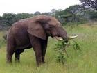 Samice slona v přírodní rezervaci Samburu, Keňa