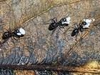 Mravenčí farmáři využívají v potravě dřeň (vrchní část hřibů), která je sama o sobě neproduktivní - podhoubí je pod zemí