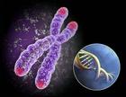 """Na tomto obrázku jsou na chromozonu teloméry označeny červenou barvou. Baird tvrdí, že pokud nejsou v pořádku, pak buňka sama """"rozhoduje"""" o tom, že v teloméře je narušena DNA, což je nutné odstranit sloučením těchto, jakoby, rozervaných kousků. Ale toto """"léčení"""" ničemu dobrému nepřispívá."""
