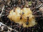 Pozorováním bylo zjištěno, že si provoz na mravenčích trasách, na rozdíl od vozidlové dopravy, uchovává stejnou průměrnou rychlost i při vzrůstající hustotě provozu.