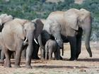 Slon je největší žijící suchozemský savec. Při narození váží okolo 100 kg. Samice slona je březí 20 až 22 měsíců, což je nejdelší doba březosti u suchozemského zvířete. Slon se dožívá 60 až 70 let. Největšího slona zastřelili v Angole v roce 1974, vážil 12 000 kilogramů. Sloni jsou v současnosti přísně chráněný druh po celém světě.