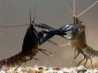 Pokud se setkají dva samci s přibližně stejnými klepety, pak k potyčce dojde bez ohledu na jejich velikost.