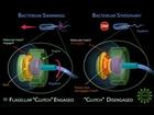 Schéma práce a brzdění u bičíkovce B. Subtilis. Červeně je označena bílkovina EpsE, fungující jako spojka v automobilech.