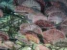 Jehličková pokrývka plochých mořských ježků je na pohled sametová, ale k ochraně neslouží