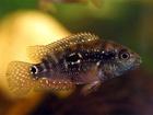 """V """"neutrálních vodách"""" - podle průzračnosti a osvětlení - zbarvení ryb zůstávalo neutrální."""