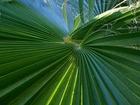 """Rostlina byla pojmenována na počest Anny-Tahiny Metz - dcery objevitele, Tahina spectabilis (tahina v malajštině znamená """"blahoslavená"""")."""