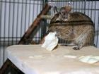 Osmák degu (Octodon degus) je malý chilský hlodavec, lidově přezdívaný též chilská veverka. Jméno osmák má původ ve tvaru žvýkacích plošek jeho stoliček, které tvarem připomínají osmičky.