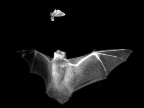 Infračervený snímek netopýra, který se právě chystá spolknout nešťastného motýlka. Článek jsme vybavili černo-bílými snímky, protože téma požírání slabšího silnějším jedincem je velmi kruté – i když ne vždy se to podaří