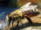 Včela medonosná původně žila jen v Evropě, Asii a v Africe. Do Ameriky, Austrálie a na Nový Zéland byla přivezena až někdy v 17. století. Svá hnízda staví na chráněných místech přičemž jsou jednotlivé [plásty] umístěny vedle sebe. Má nejvyšší hospodářské využití.