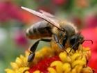 včela v praci