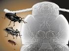 Na rozdíl od zvířat s páteří, hmyz dodává kyslík do tkáně přímo pomocí sítě slepých tracheálních trubic a nepotřebuje k tomu krev, jako např. člověk.