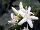 Káva je plodem tropické rostliny nazývané kávovník, latinským názvem Coffea. Tato rostlina mohutných rozměrů patří do čeledi mořenovitých rostlin, podle botaniků existuje až několik set druhů kávovníků.
