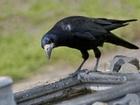 Proč se na jednom ostrově v Tichém oceánu objevily tak inteligentní vrány - to zůstává pro vědce záhadou.