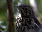 Drozd zpěvný (Turdus philomelos) - jeden z nejhojnějších ptáků našich lesů, parků a zahrad. Hnízdí obvykle dvakrát ročně v křoví a na stromech nevysoko nad zemí. Snáší 4-5 modrých vajec s černými tečkami do hnízda. Živí se červy a hmyzem, na podzim s oblibou požírá nejrůznější bobule. Jeho zpěv je mistrný přednes několika stále se opakujících strof. Přezimuje v jižní a jihozápadní Evropě.