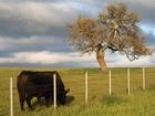 Krávy hojně trpí větry. Jejich plynatost způsobuje emise skleníkového plynu metanu do ovzduší.