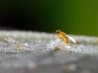 Encarsia pergandiella klade vajíčka do nymfy mšice