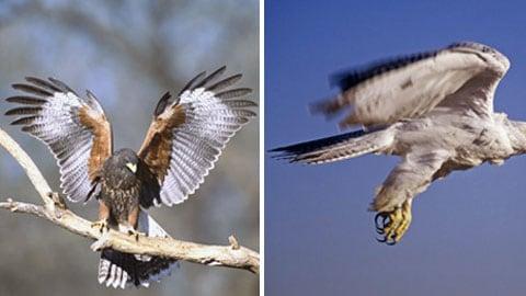 A zde je uveden příklad vnější odlišnosti od vnitřní. I když morfologicky káně Harrisova (vlevo) a raroh lovecký jsou si podobní, nejsou příbuznými druhy.
