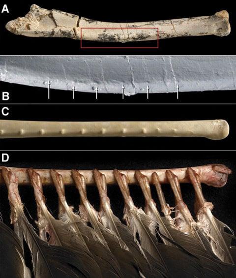 A) Zkoumané předloktí velociraptora. B) Vyčleněná, zvětšená část. Šipky ukazují hrbolky, ke kterým bylo připevněno peří. C) Kost předloktí dnešního kondora krocanovitého (Cathartes aura). D) Stejný pohled  jako u C), ale se zachovaným peřím.