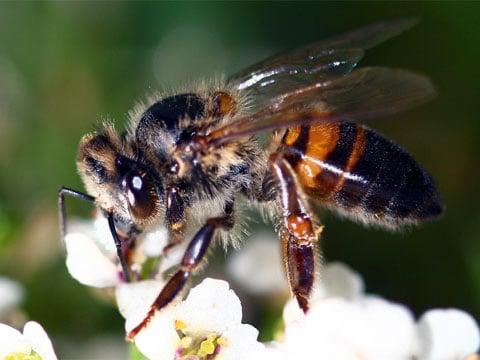 Apis melifera scutella - africká včela medonosná. Na pohled nic strašného, ale kousnutí takové včely na citlivém místě, např. v okolí očí a za uchem, vyvolává velmi nepříjemné pocity dokonce i u slona.