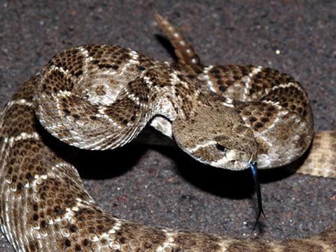 Badatel z Arkansaské univerzity zkoumal fyziologii hladovějících hadů a zjistil, že dokáží snížit rychlost svého metabolismu.