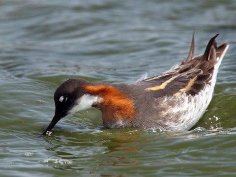 Badatelé z MIT se pokusili vysvětlit, jakým způsobem voda (a v ní obsažená potrava) vystupuje tenkým a dlouhým zobákem ptáků od špičky až k jeho kořenu.