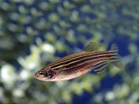 Danio rerio (Dánio pruhované, známá  mezi akvaristy jako zebřička) je sladkovodní, kaprovitá ryba z východní Indie, od Kalkaty až po Masulipatam.