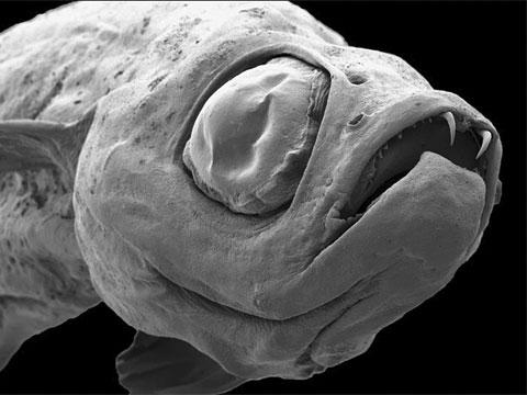 Danionella dracula. Biologové dospěli k závěru, že