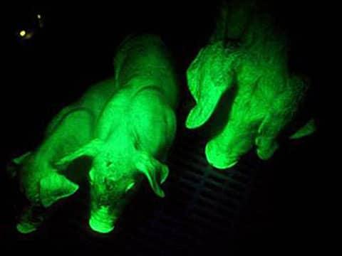 Fosforeskující prasata