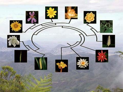 Graf, znázorňující příbuznost hlavních zástupců krytosemenných rostlin. Získat takové důkazy bylo velmi složité: období, kdy kolem vznikaly všechny tyto druhy, bylo tak krátké, že někdy bývá nazýváno