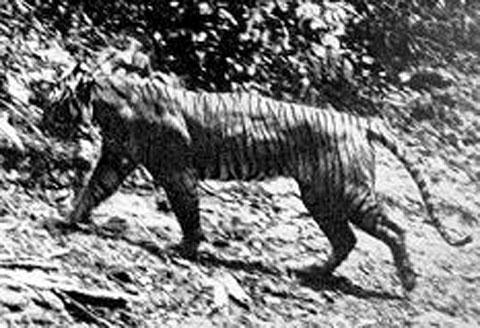Javánský tygr