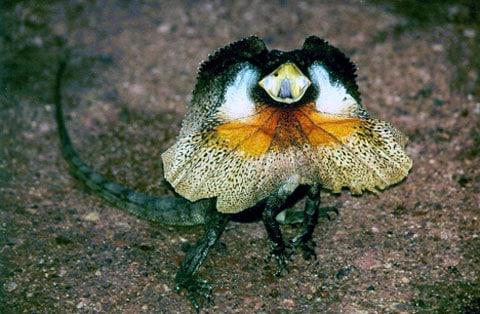 Ještěrka s krčním límcem (Frill-necked Lizard)