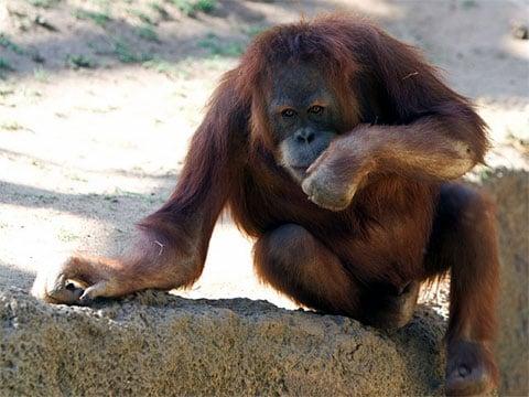 Orangutani jsou schopni řešit šarády