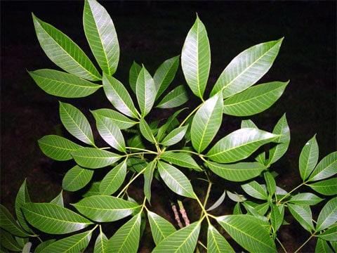 Kaučukovník (Hevea brasiliensis) je strom rostoucí v tropických oblastech. Jeho domovem je Jižní Amerika (konkrétně Amazonský prales), je však rozšířen i do oblastí ve střední Americe, v jihovýchodní Asii a ve střední Africe. Latexové mléko, které po naříznutí vytéká z jeho kůry, je výchozí surovinou pro výrobu přírodního kaučuku. Dřevo kaučukovníku se používá pro výrobu kvalitního nábytku.
