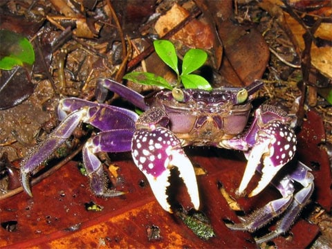 Když shazuje krunýř, zbavuje se krab-houslista téměř 75% rtuti, která otravuje jeho organizmus