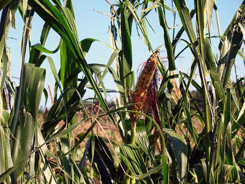 Kukuřice (Zea L.) je rod jednoděložných rostlin z čeledi lipnicovité (Poaceae). Český název kukuřice patří mezi novotvary vytvořené v 19. století Janem Svatoplukem Preslem.
