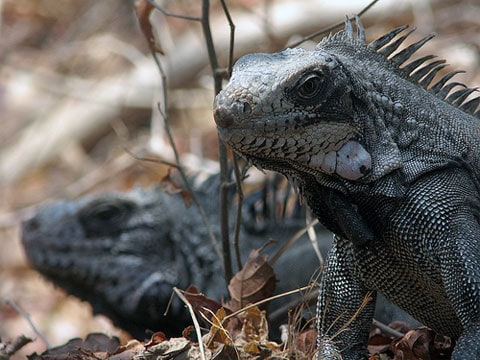 Leguán zelený (Iguana iguana) je nejznámějším druhem z čeledi leguánovitých. Obvykle je zelený nebo našedlý. Má robustní nohy, dlouhý ocas a podélný hřeben zubovitých šupin na hřbetě. Dospělí leguáni mají také masitý lalok pod hrdlem. U samců podstatně větší než u samic.