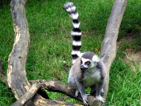 Lemur kata (lat. Lemur catta) patří do řádu primátů, je lemur endemitem ostrova Madagaskar. Je nejrozšířenějším druhem na tomto ostrově.