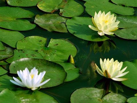 Lotos (nelumbo) je tropická vodní rostlina podobající se