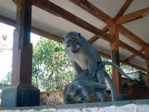 Makak dlouhoocasý, Macaca fascicularis