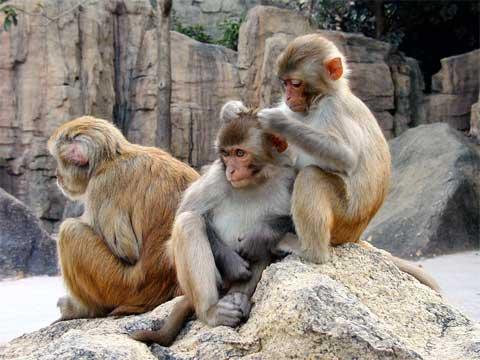 Makak rhesus je už dávno objektem různých zkoumání. Možná, že když se lépe podíváme na ostatní opice, tak u nich objevíme také poněkud vyšší úroveň intelektu, než jsme si  doposud mysleli