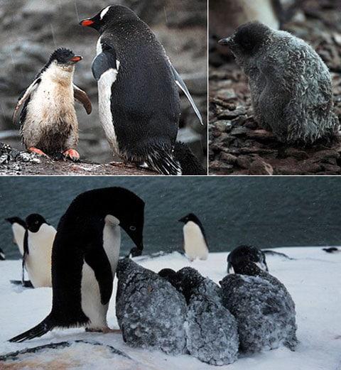 Mládě tučňáka papuánského promoklo na dešti (vlevo nahoře) a opeření tučňáků kroužkových (dole vpravo) se pokrylo ledem a sněhem